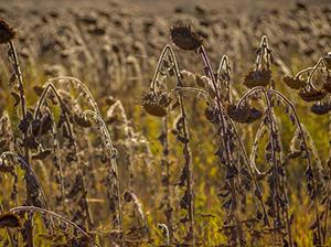 cabezal de girasol por todo tipos de cosechadoras (John Deere, Claas, Case, New Holland).
